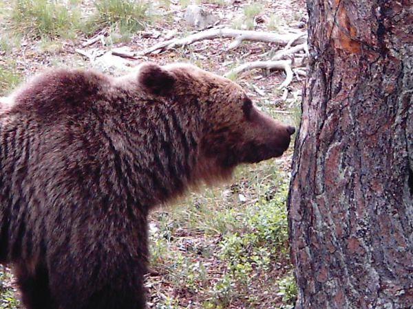 Enllaç a l'ós bru