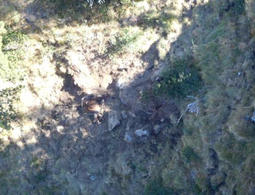 Noves imatges aèries de l'os Goiat al Pirineu