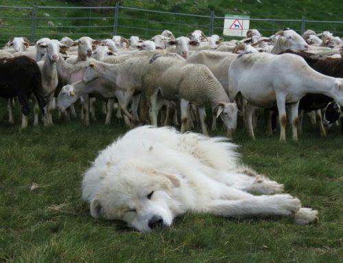 Jornada tècnica: Gestió dels gossos de protecció de ramats