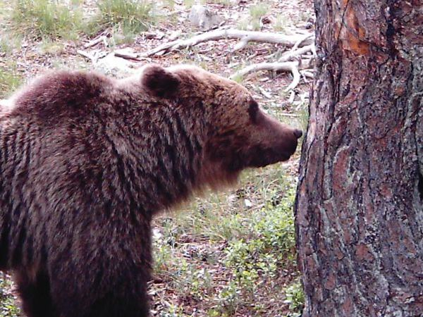 Enlace a el oso pardo