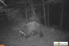 Agents de Mitjà Natural del Conselh Generau d'Aran han recuperat al Baix Aran fotos del dia 24 de juny fetes amb càmeres de foto trampeig de l'ós Goiat.