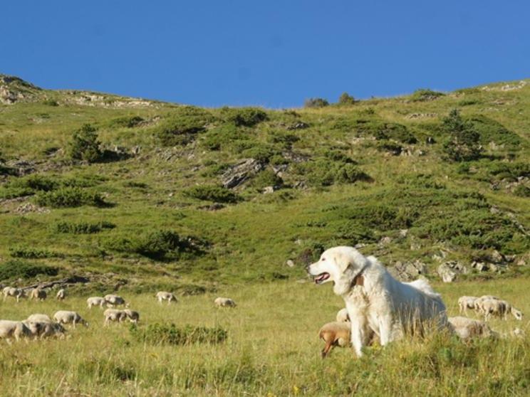 gos muntanya dels pirineus