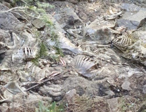 Esbauçament massiu d'oelhes enes malhs boscosi  dera boca sud deth tunèl de Vielha