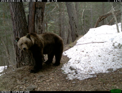 Approved the Protocol of intervention with bears in the Pyrenees