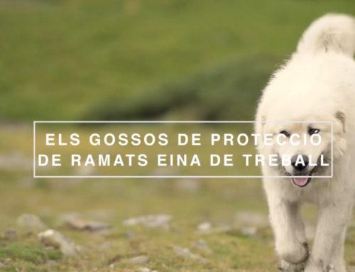 """""""Perros de protección de rebaños, herramienta de trabajo"""" (12'01"""")"""