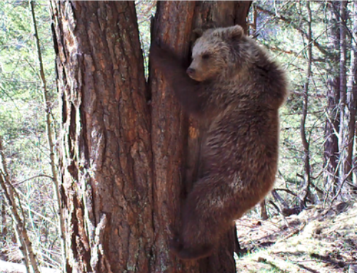 The community of bears stabilized in the Pyrenees and 3 bears were detected less than in 2017