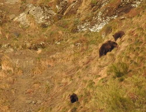 La Junta de Castilla y León iniciará este año un proyecto de radiomarcaje de oso pardo
