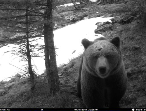 The bear population in the Pyrenees reaches 52 specimens